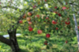 Mighty Oak Orchards in Manistee, Michigan grows 3 acres of organic heritage apples on a hillside orchard, selling to pick-your-own customers and providing apples to Little Red Organics CSA.