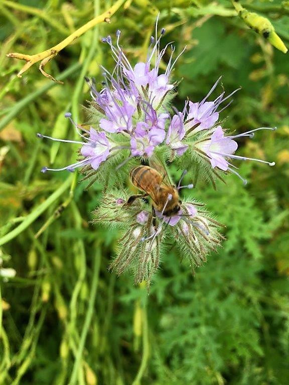 Phacelia for happy pollinators