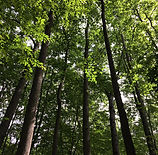 Hatchetts Hill Tulip Poplar Stand.jpg