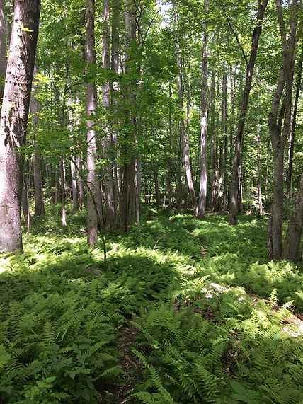 Mile Creek Ferns.jpg