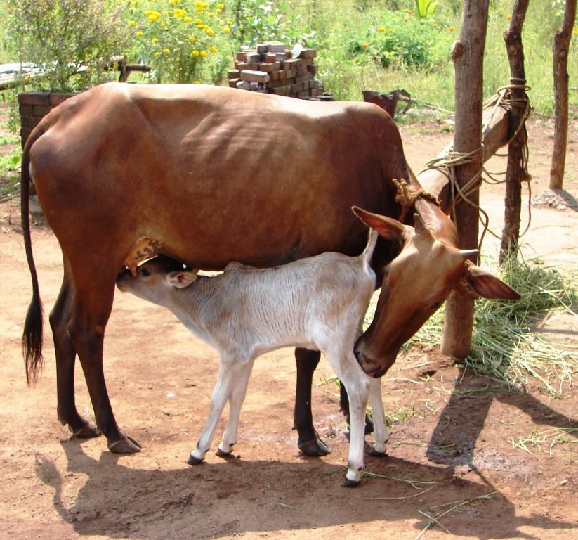 The Sacred Cow.jpg