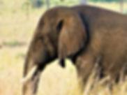 Elephant in Kidepo.jpg