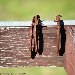 Who knows how old these rusty horseshoes