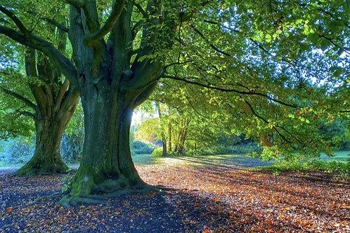 Majestic - Canvas Image - Tree Photography - Marbury Park