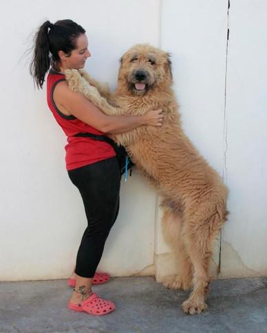 Dogos- croisé - mâle