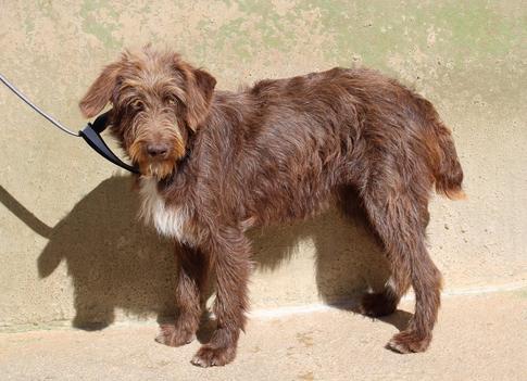 Zaza - croisée chienne d'eau espagnole - femelle - en cours d'adoption