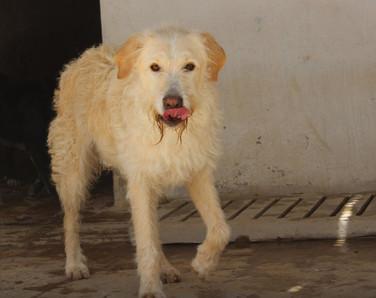 TYRION - mix chien d'eau et labrador - mâle