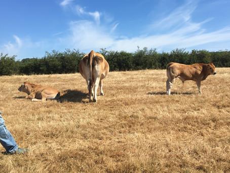 Thibaut Goret (Parthenaises Famenne) : des vaches Parthenaises au service de la nature.