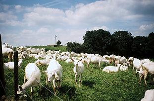 prairie_chèvres.jpg