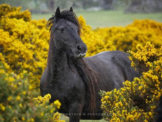 Fell Pony in the Gorse