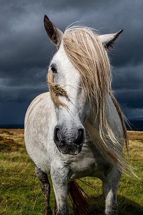 Fell Pony - Grey Beauty