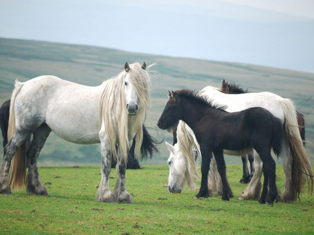 A voice for Fell ponies