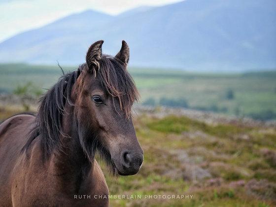 Fell Pony youthful Charm