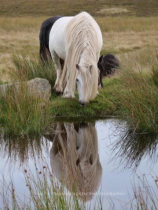 Fell Pony Reflections