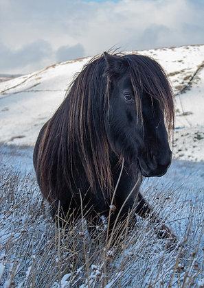 Fell Pony - Winter Scene