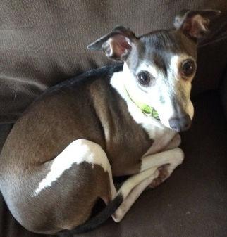 Janie Joy, an eight-year old Italian Greyhound