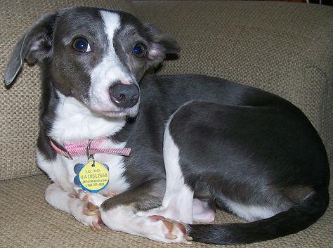 Four-year old Italian Greyhound in TN for adoption