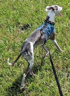 Gwennie, an Italian Greyhound, going for a walk