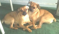 Two Pug / Min Pins need home together