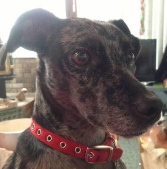 Italian Greyhound Place foster Dill, an Italian Greyhound / Whippet in NY