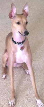 Bruno, an Italian Greyhound in SC, needs adopter