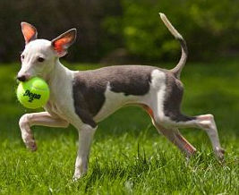 Foster Italian Greyhound Charlie playing with a ball in NY