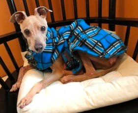 Leroy, an Italian Greyhound being fostered by Italian Greyhound Place
