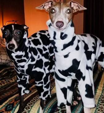 Ziggy and Royal, two Italian Greyhounds wearing coveralls