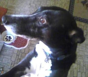 Italian Greyhound / Border Collie being fostered in CT by Italian Greyhound Place