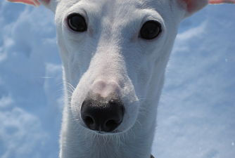 Italian Greyhound Place is fostering an Italian Greyhound named Cappy