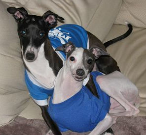 Bonded Italian Greyhounds in GA available for adoption