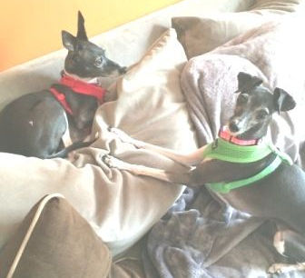 Nove, an Italian Greyhound, in her new home