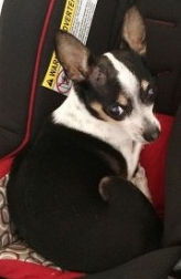 A thirteen-year old Chihuahua in NJ needs an adoper