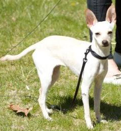 Cleo, an Italian Greyhound / Chihuahua