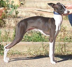 Adopter needed for Italian Greyhound in NY