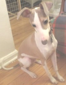 Six-month old puppy in NY needs new home