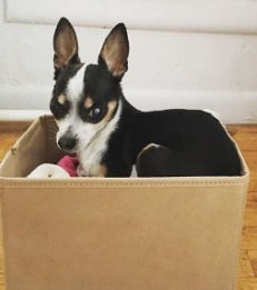Chihuahua sitting in his toy box