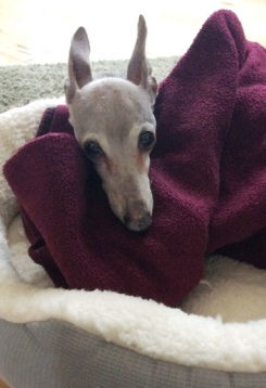 Shadow, the Italian Greyhound, in her new home
