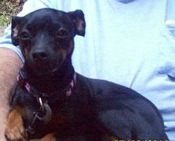 A Miniature Pincher in NY needs a new home