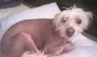 A Hairless Chinese Crested in NY available for adoption