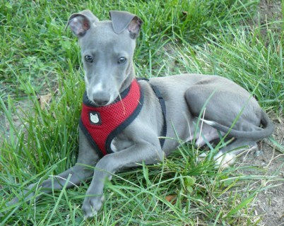 Italian Greyhound in SD looking for adopter