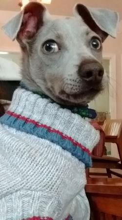Earl Grey, an Italian Greyhound / Chihuahua mix