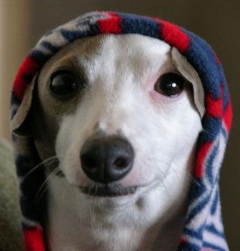 Swirl, an Italian Greyhound