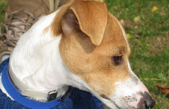 Bailey, an Italian Greyhound / Jack Russell fostered by Italian Greyhound Place