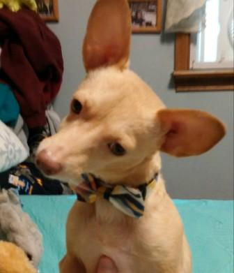 Jackson, a Dachshund / Chihuahua in the care of Italian Greyhound Place
