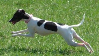 An Italian Greyhound in IL needs a new home