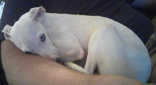 An Italian Greyhound for adoption in OK