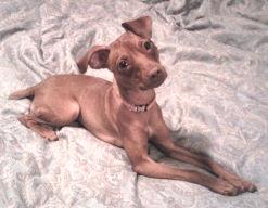 An Italian Greyhound / Min Pin for adoption in MA