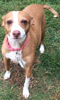 Bonded IG / Chihuahua's need adoption