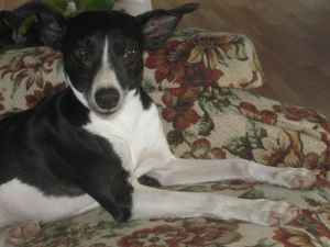 An Italian Greyhound / Chihuahua in VA for adoption